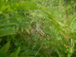 Image of Barbary Spider