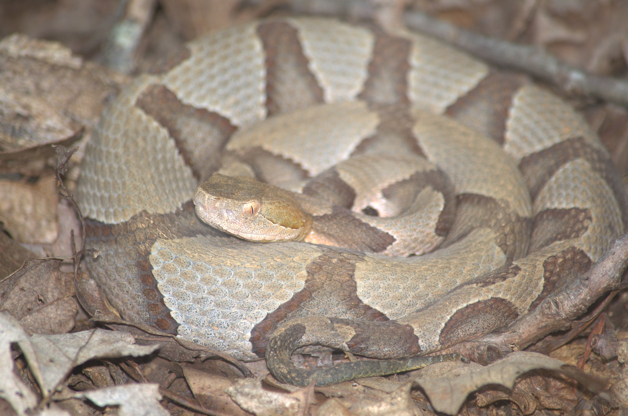 Image of Copperhead