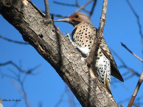 Image of Northern flicker