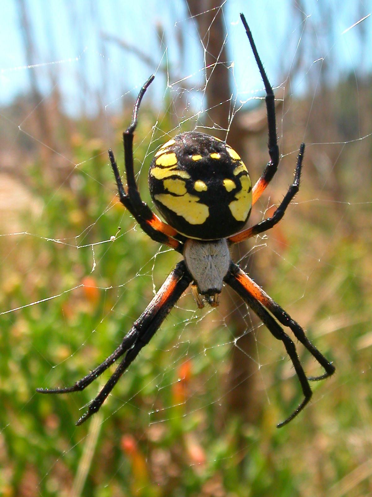 Yellow Garden Spider Encyclopedia Of Life
