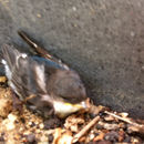 Image of Northern house martin