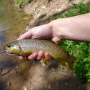 Image of Brown Trout