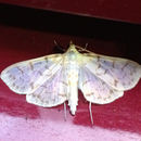 Image of Ironweed Root Moth