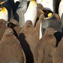 Image of King penguin