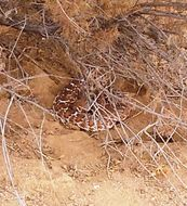 Image of Red Diamond Rattlesnake