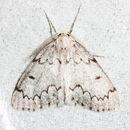 Imagem de <i>Cingilia catenaria</i> Drury 1770