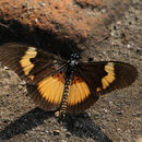 Image of <i>Bematistes aganice</i> Hewitson 1852