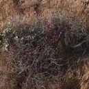 Image of <i>Mirabilis laevis crassifolia</i>