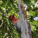 Image of Red-breasted Sapsucker