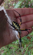 Image of Black-and-Yellow Argiope