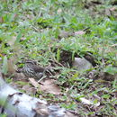 Image of Louisiana Waterthrush