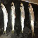 Image of Red-eye round herring