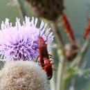 Image of Soldier beetle