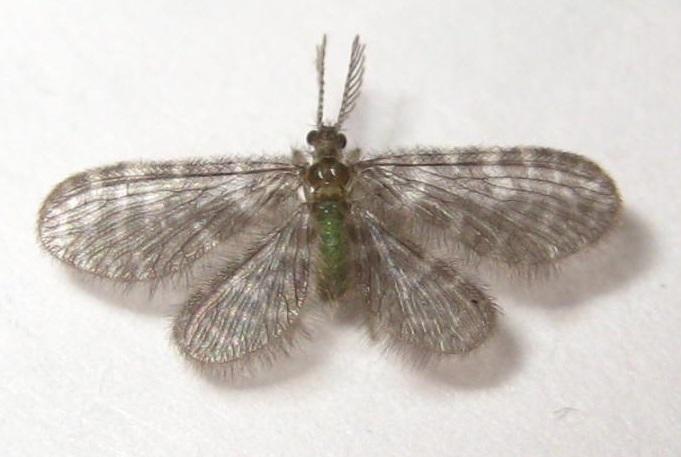 Image of <i>Nallachius americanus</i> (Mc Lachlan 1881)