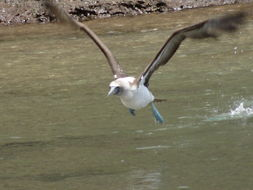 Image of Blue-footed Booby