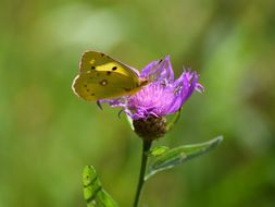 Image of common clouded yellow