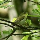 Image of Wood Warbler