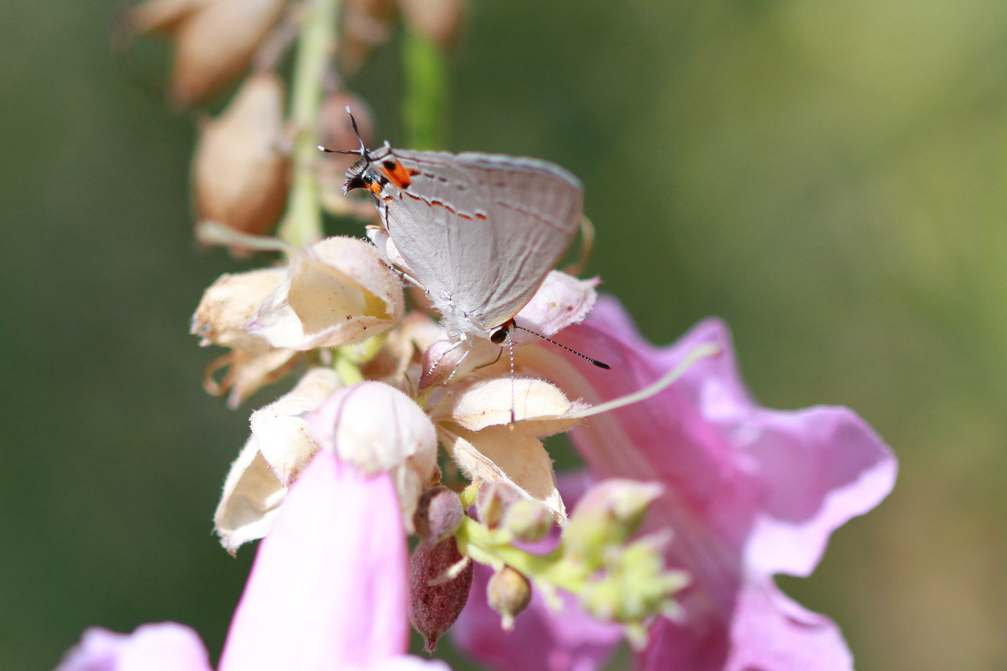 Image of Gray Hairstreak
