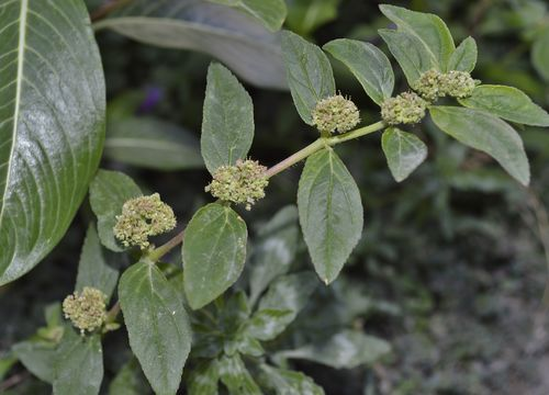 Image of <i>Euphorbia hirta</i>