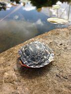 Image of Midland Painted Turtle