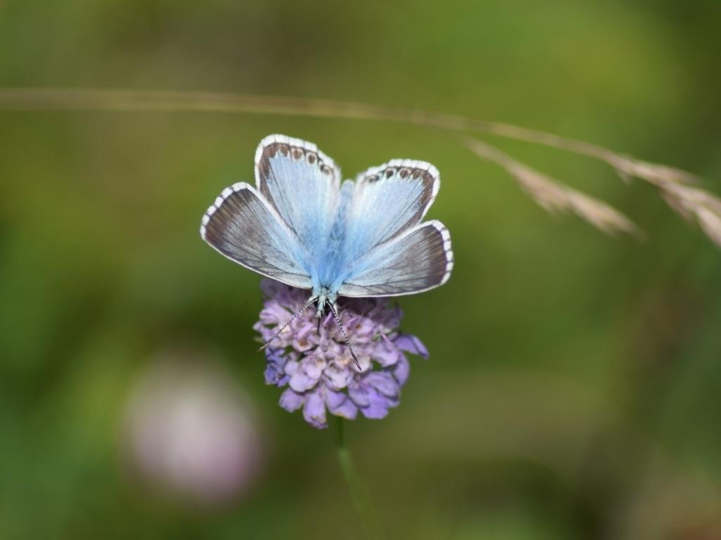 Image of Chalkhill Blue
