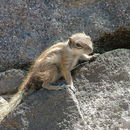 Image of Barbary ground squirrel