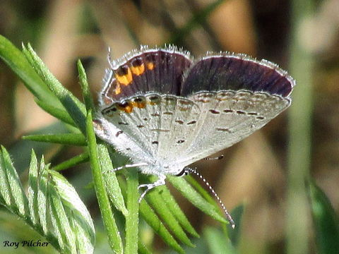 Image of eastern tailed-blue