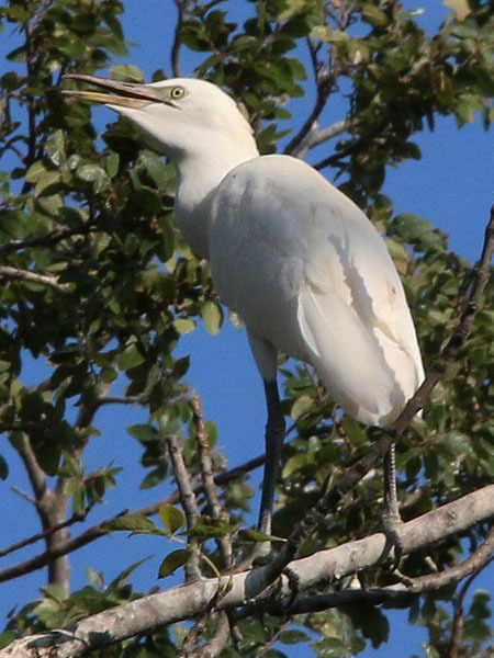 Image of Western cattle egret