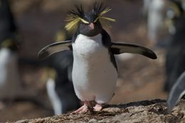 Image of Northern Rockhopper Penguin