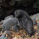 Image of Amsterdam Island Fur Seal