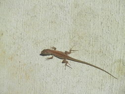 Image of Italian Wall Lizard