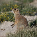 Image of Mexican Prairie Dog