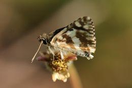 Image of <i>Spialia diomus</i> Hopffer 1855