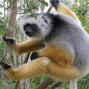 Image of Diademed sifaka