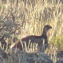 Image of Gunnison Grouse
