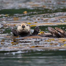 Image of Northern Sea Otter