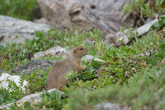 Image of Arctic ground squirrel