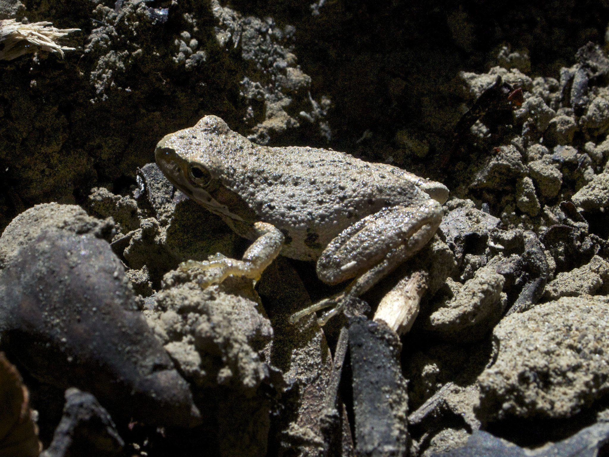 Image of <i>Pseudacris sierra</i>