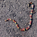 Image of Texas Coral Snake