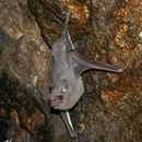Image of Gray Sac-winged Bat