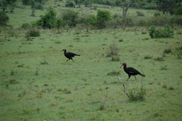 Image of Southern Ground Hornbill