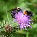 Image of Buff-tailed bumblebee