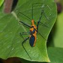 Image of Milkweed Assassin Bug