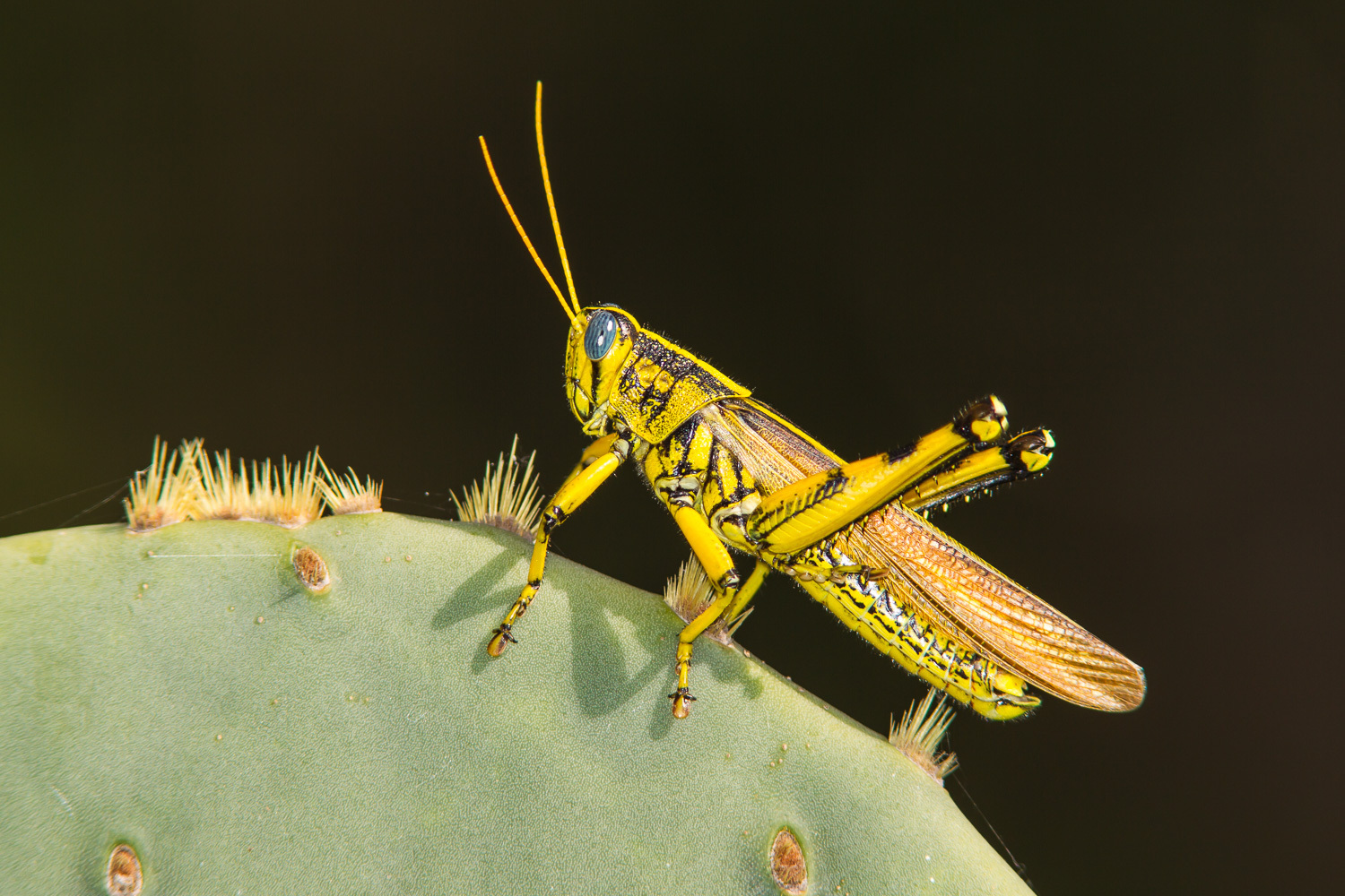 Image of Spotted Bird Grasshopper