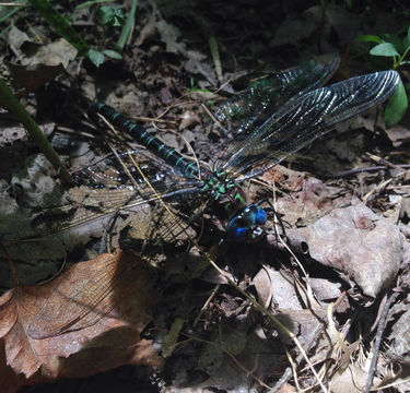 Image of Swamp Darner