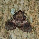 Image of <i>Locastra muscosalis</i> Walker 1865
