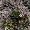 Image of <i>Houstonia rubra</i>