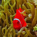 صورة سمكة المهرج المارونية