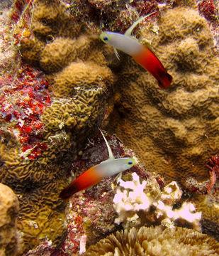 Image of Fire Dartfish