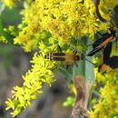Image of Goldenrod Soldier Beetle